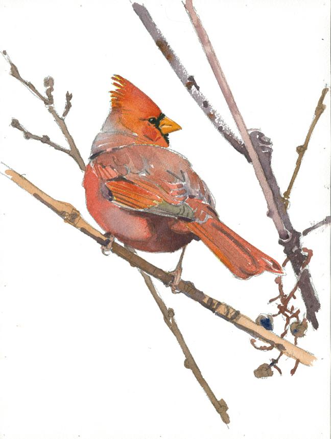Cardinal at Attleboro Springs - at 72 dpi
