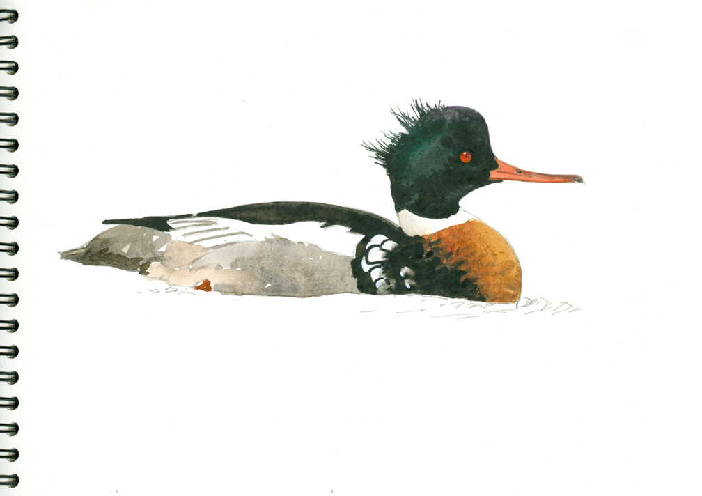 Red-breasted Merganser - at 72 dpi