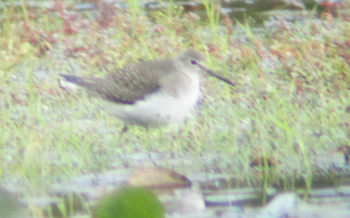 Solitary Sandpiper in the Grass 2 - at 72 dpi