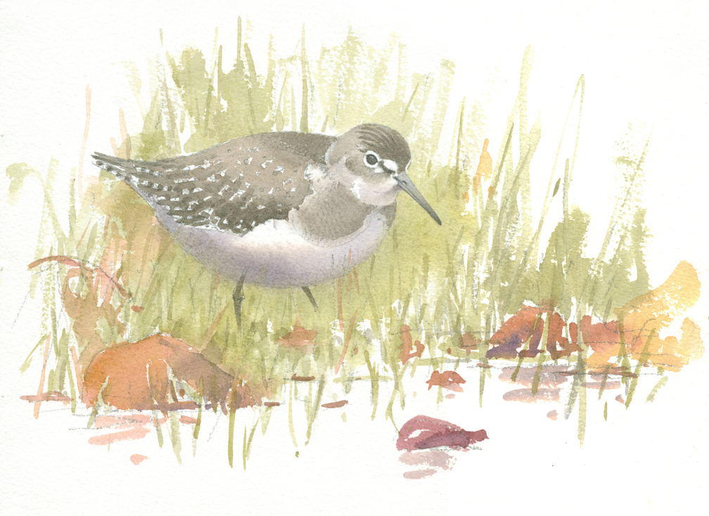 Solitary Sandpiper in the Grass - at 72 dpi