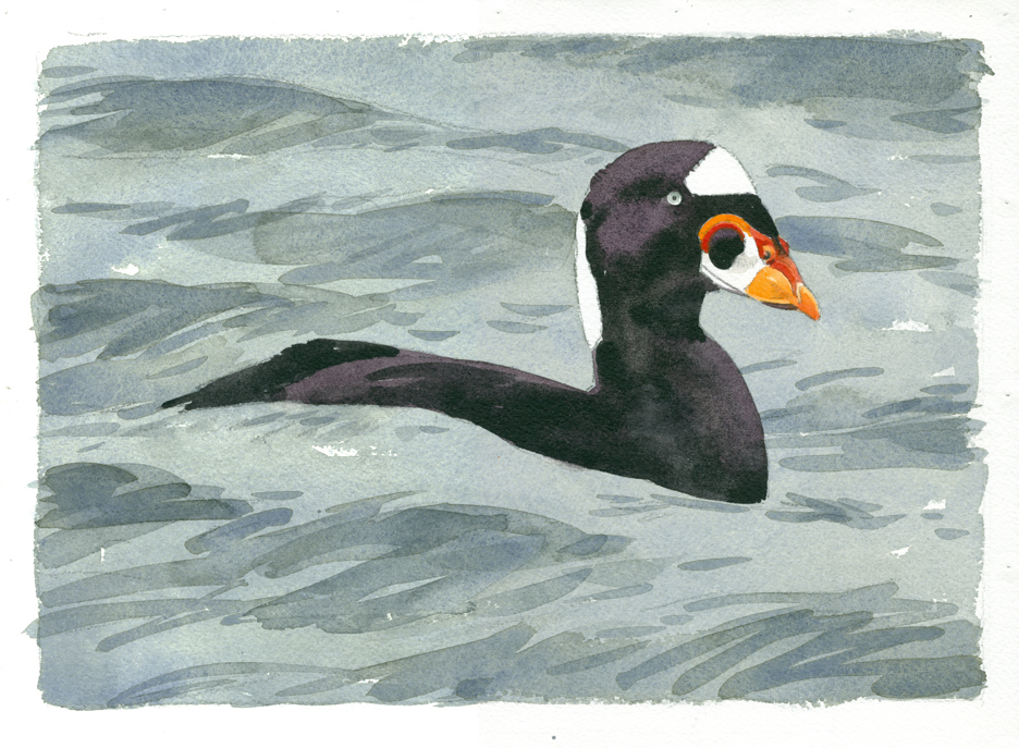 Surf Scoter - at 72 dpi