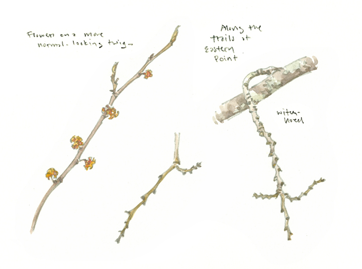 Witch-hazel studies, Eastern Point - at 72 dpi