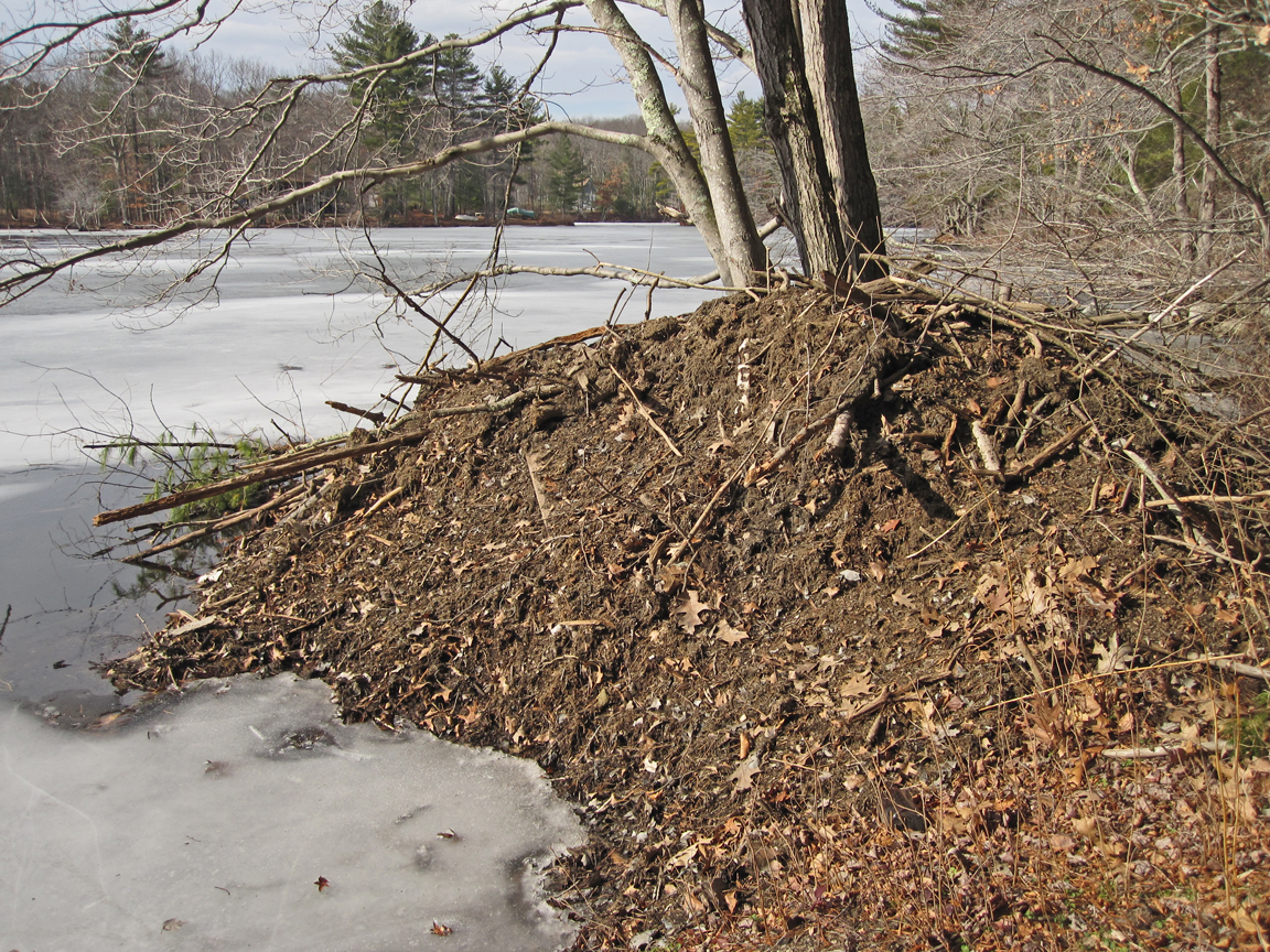 Beaver Lodge at Pierpont Meadow Pond - at 72 dpi