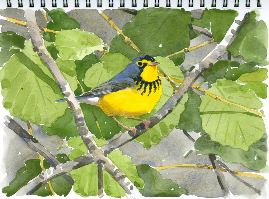 Canada Warbler in Witch-hazel, REVISED, High Ledges - at 72 dpi