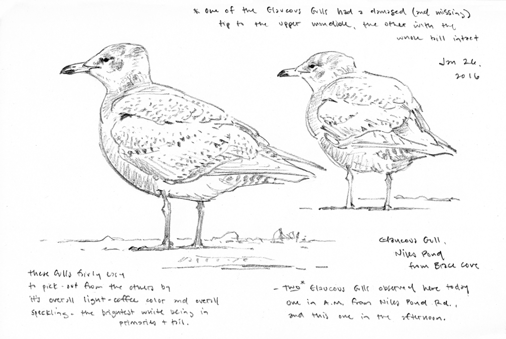 Glaucous Gull studies - at 72 dpi