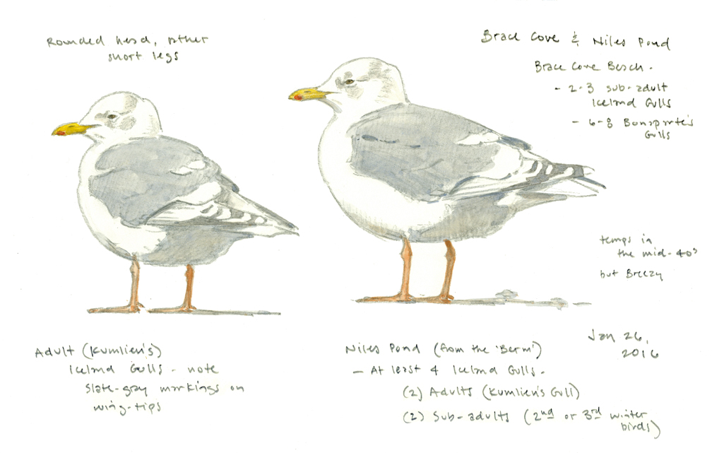 Iceland Gull, adult - at 72 dpi