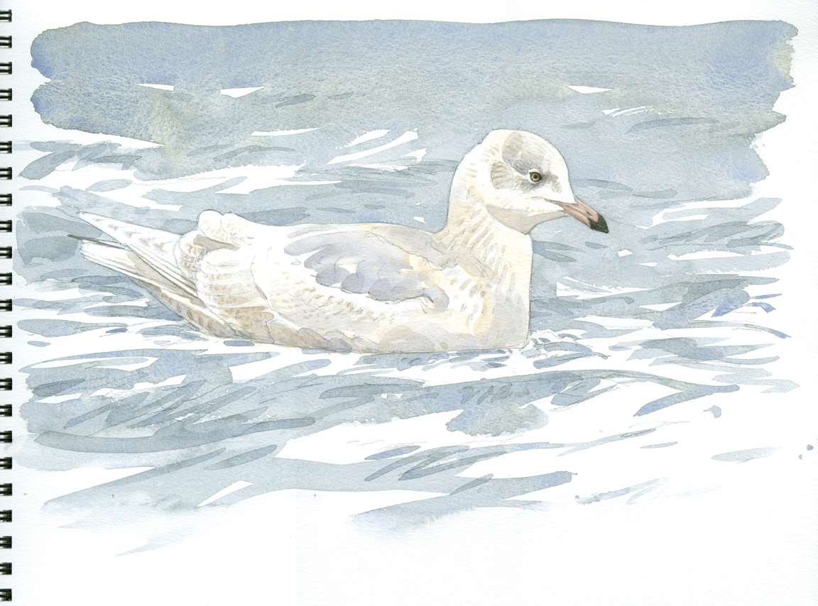 Iceland Gull, subadult - at 72 dpi