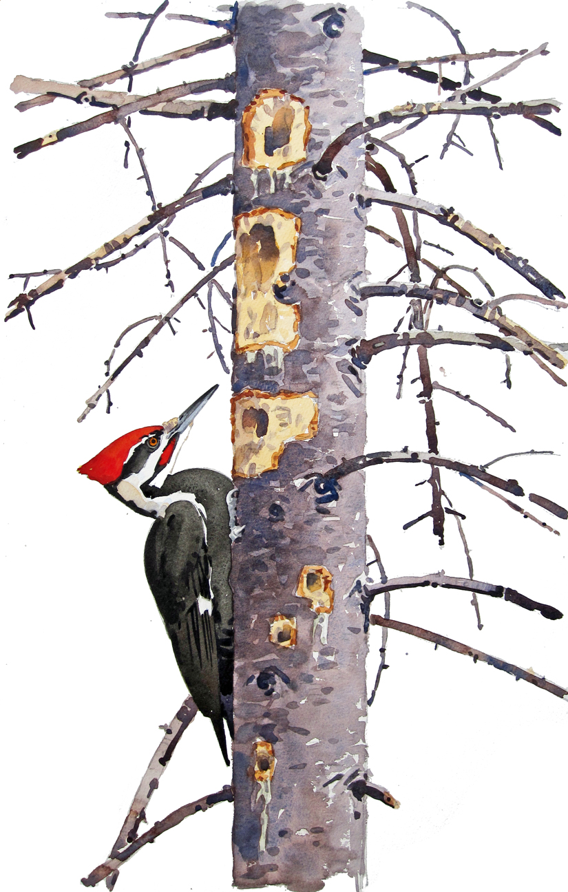 Pileated Woodpecker and Red Spruce, dropout - at 72 dpi