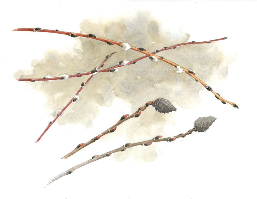 Pussy Willow Twigs - at 72 dpi