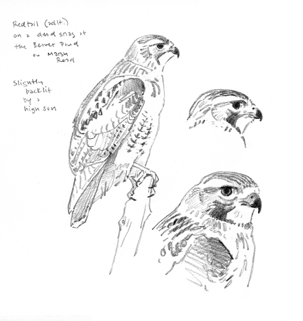 Redtail studies, Pierpont Meadow - at 72 dpi