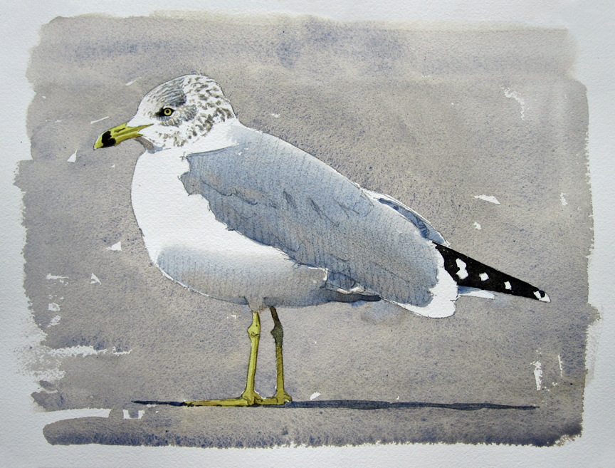 Ring-billed Gull, Onset, Oct 2014 - at 72 dpi