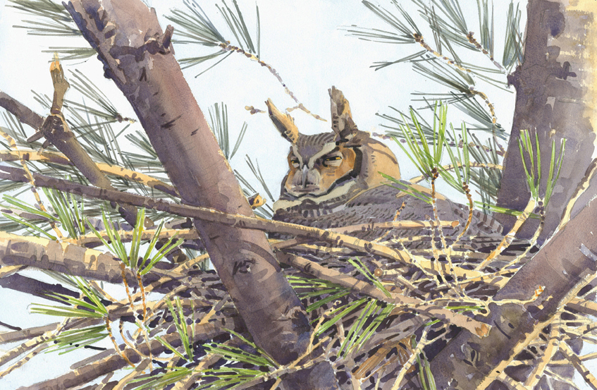 Great Horned Owl on Nest - at 72 dpi (cropped)