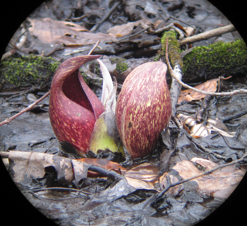 Skunk Cabbage at Habitat - at 72 dpi
