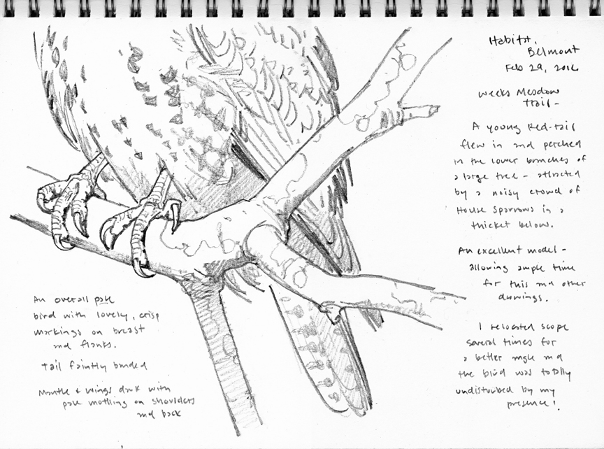 Young Redtail Feet Study - at 72 dpi