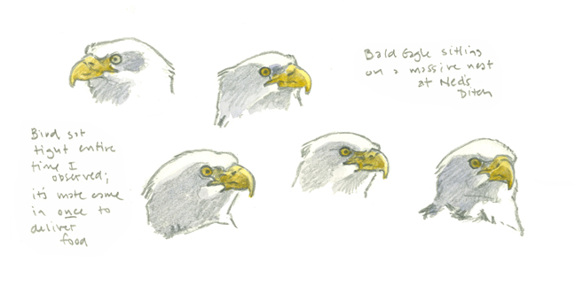 Bald Eagle Head Studies - at 72 dpi