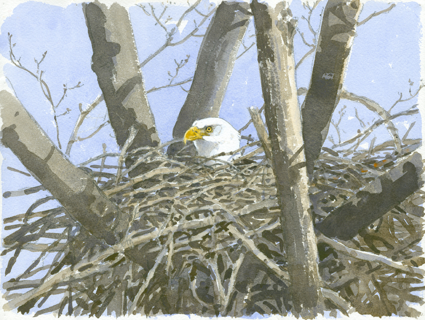 Bald Eagle Nest - at 72 dpi