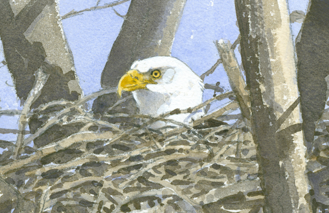Bald Eagle Nest, detail - at 72 dpi