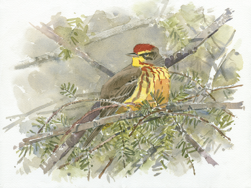 Palm Warbler in Hemlock - at 72 dpi