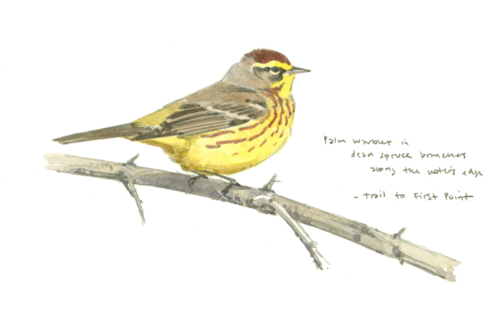 Palm Warbler sketch - at 72 dpi