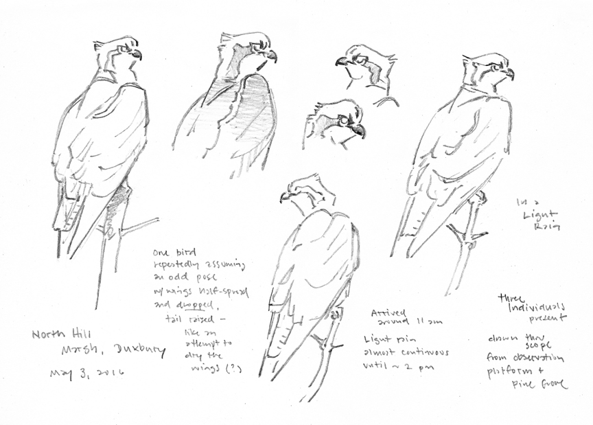 Osprey Pencil Studies - North Hill Marsh - at 72 dpi