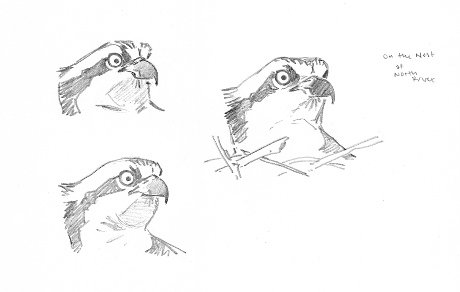 Osprey Pencil Studies - North River - at 72 dpi