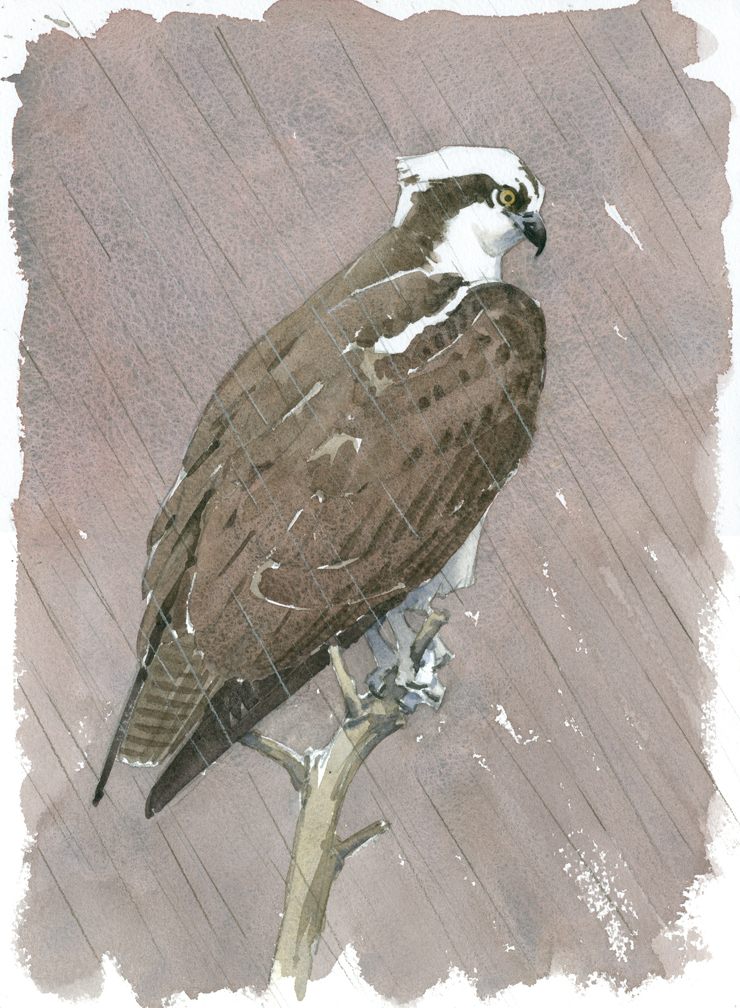 Osprey in the Rain - at 72 dpi REVISED