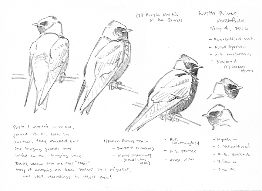 Purple Martin pencil studies - at 72 dpi