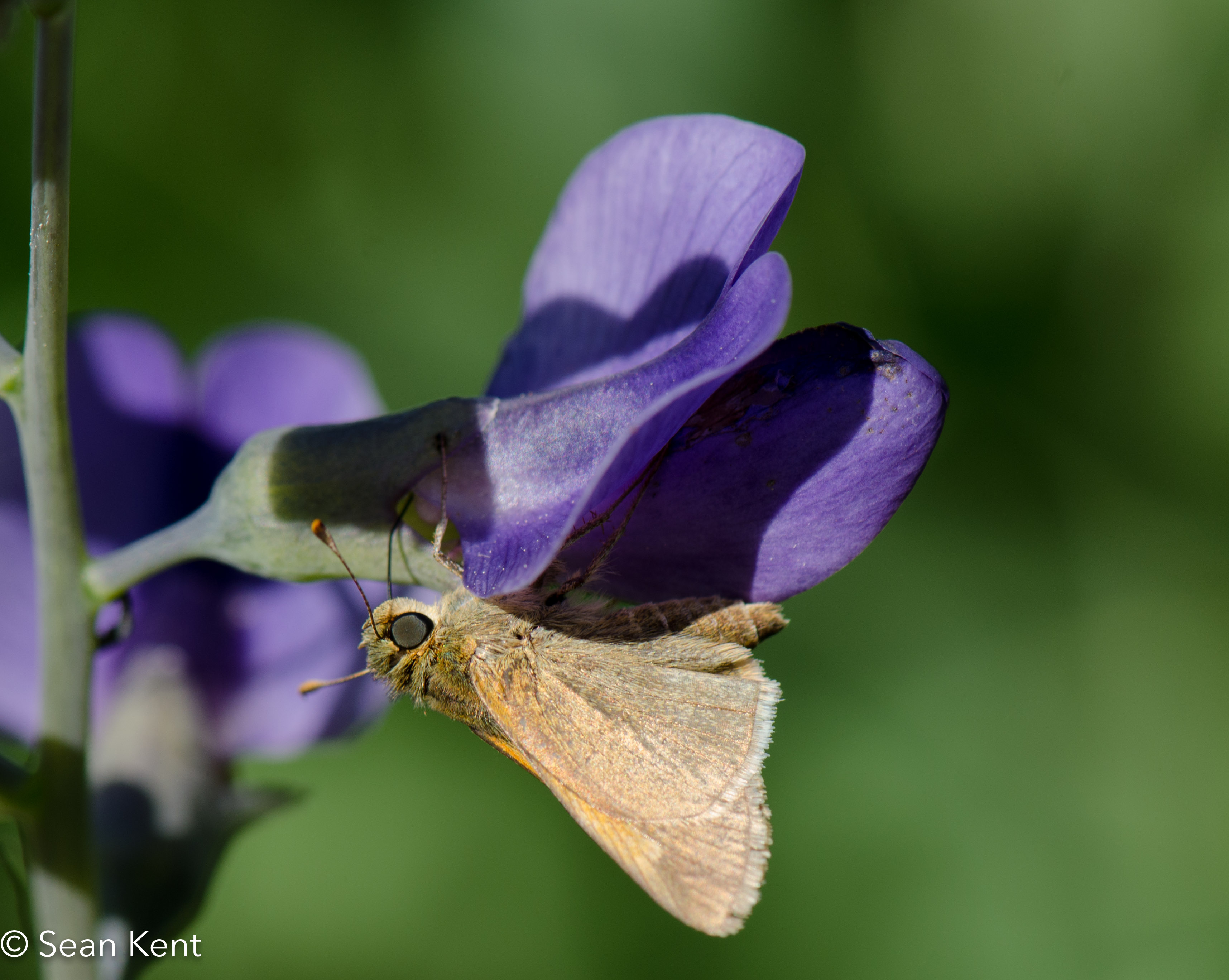 Skipper gathering nectar from a False Indigo flower
