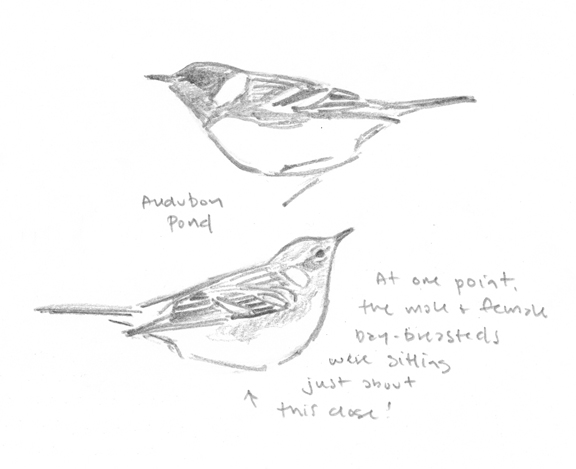 Bay-breasted Pair - sketch - at 72 dpi