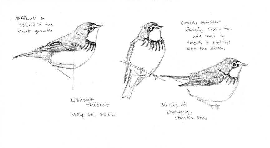 Canada Warbler sketches - at 72 dpi