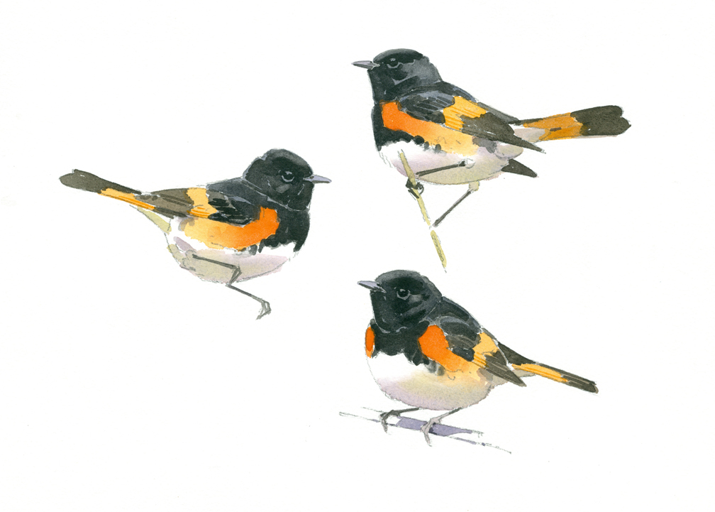 Redstart Studies - at 72 dpi