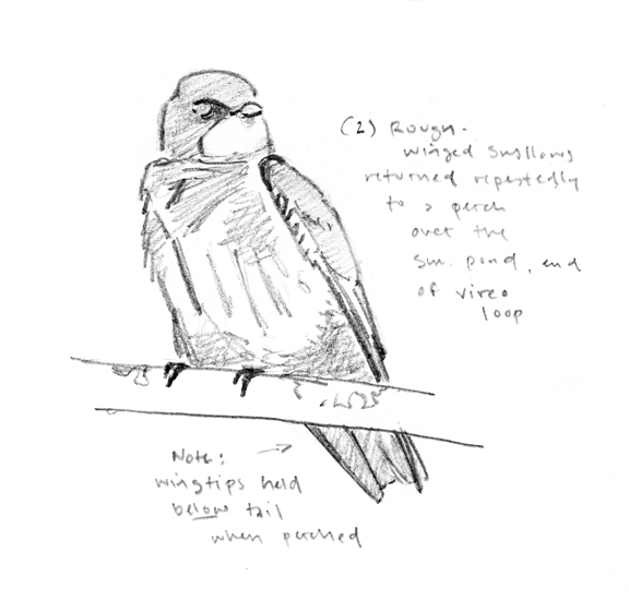 Rough-winged Swallow sketch - at 72 dpi