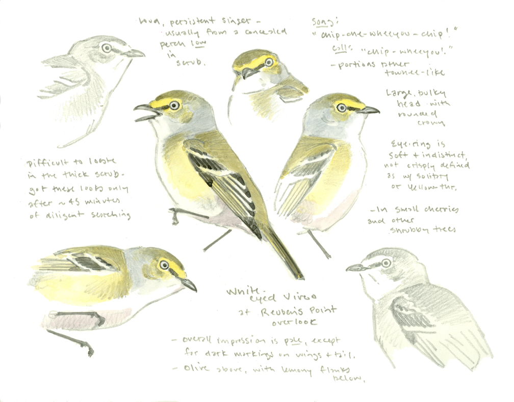 White-eyed Vireo sketchbook page - at 72 dpi