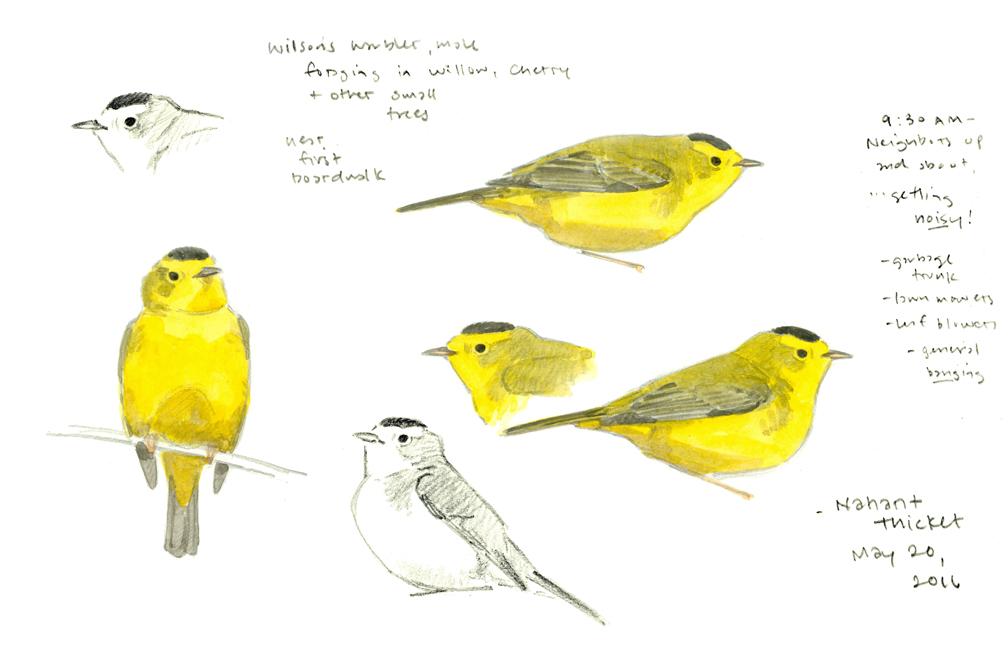 Wilson's Warbler sketchbook page dropout- at 72 dpi