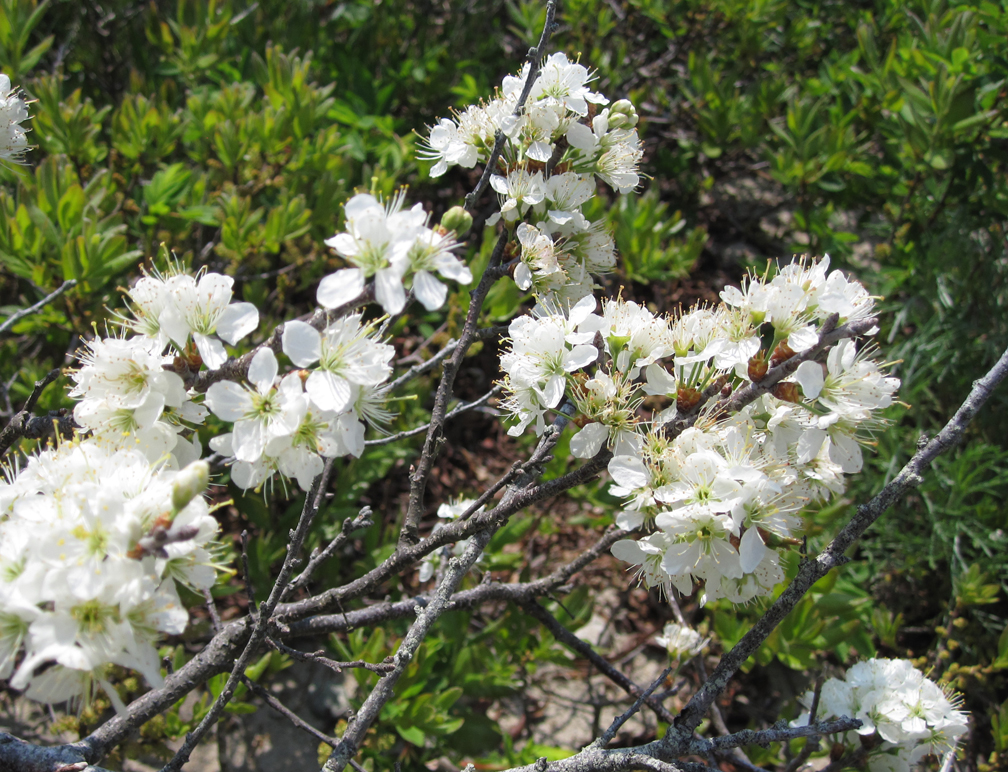 Beach Plum at Allens Pond - at 72 dpi