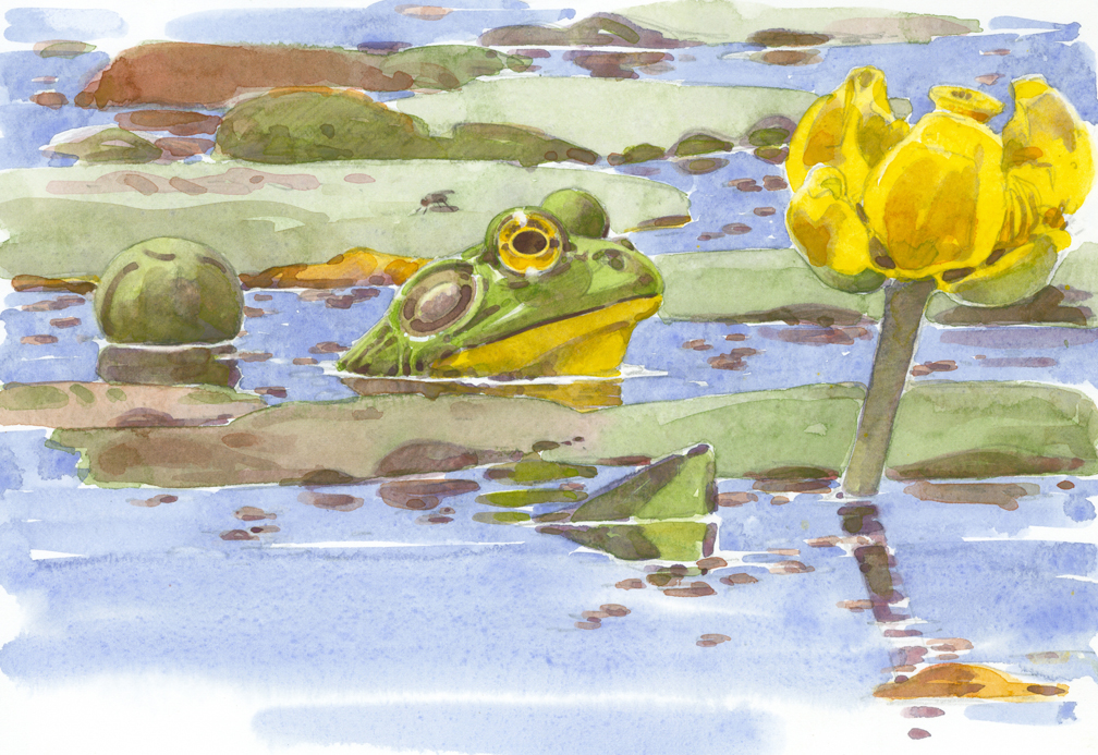 Bullfrog and Spatterdock - at 72 dpi, cropped