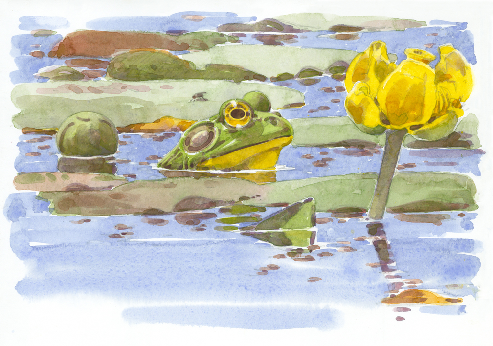 Bullfrog and Spatterdock - at 72 dpi