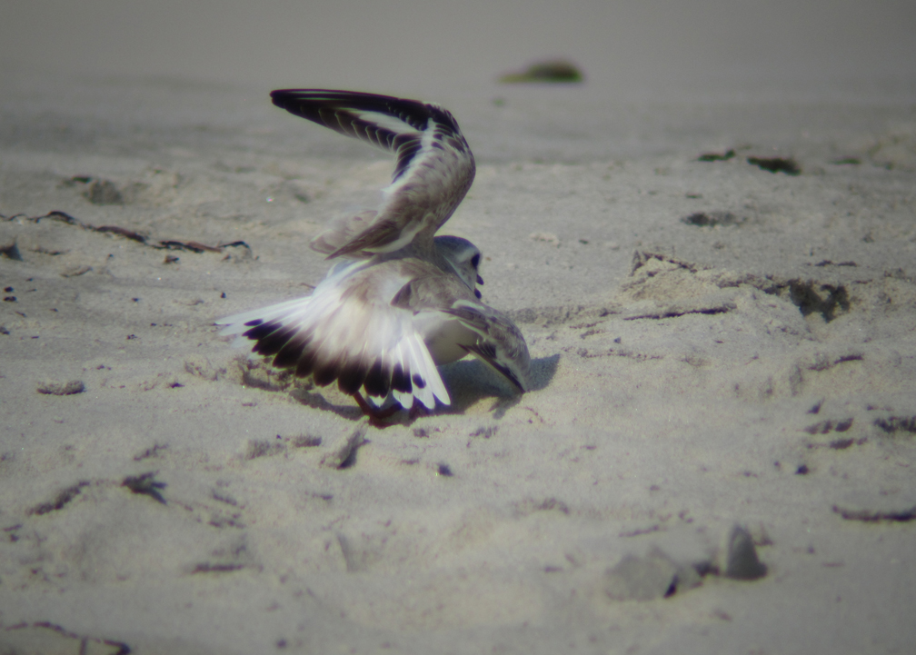 Piping Plover Distraction Display - at 72 dpi