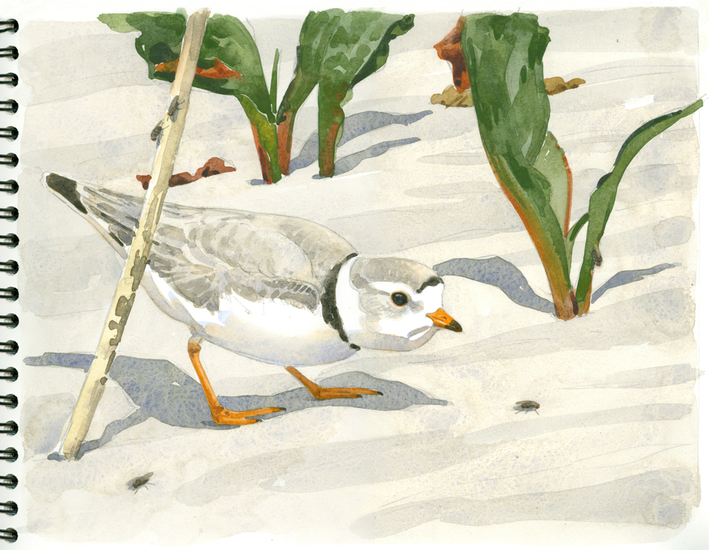 Piping Plover and Shore Flies - at 72 dpi