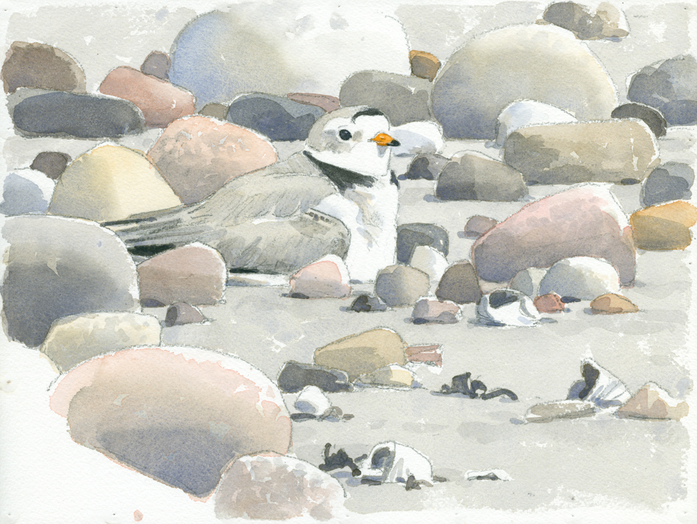 Piping Plover on Nest - at 72 dpi