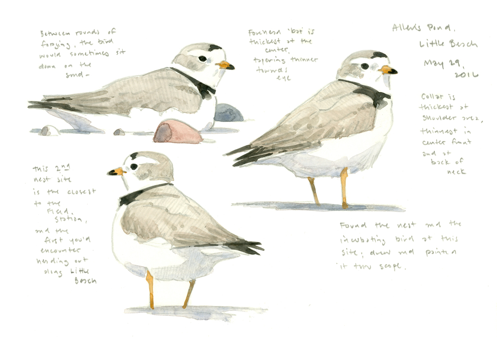 Piping Plovers sketchbook page dropout - at 72 dpi