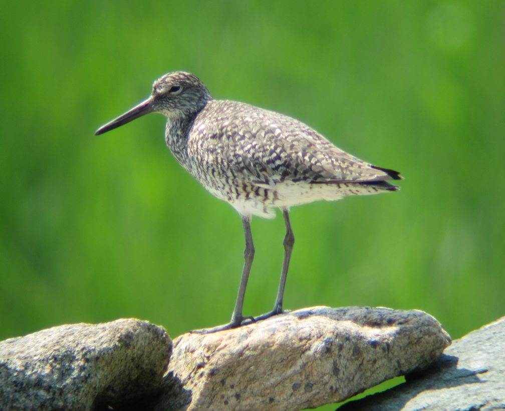 Willet at Allens Pond - at 72 dpi