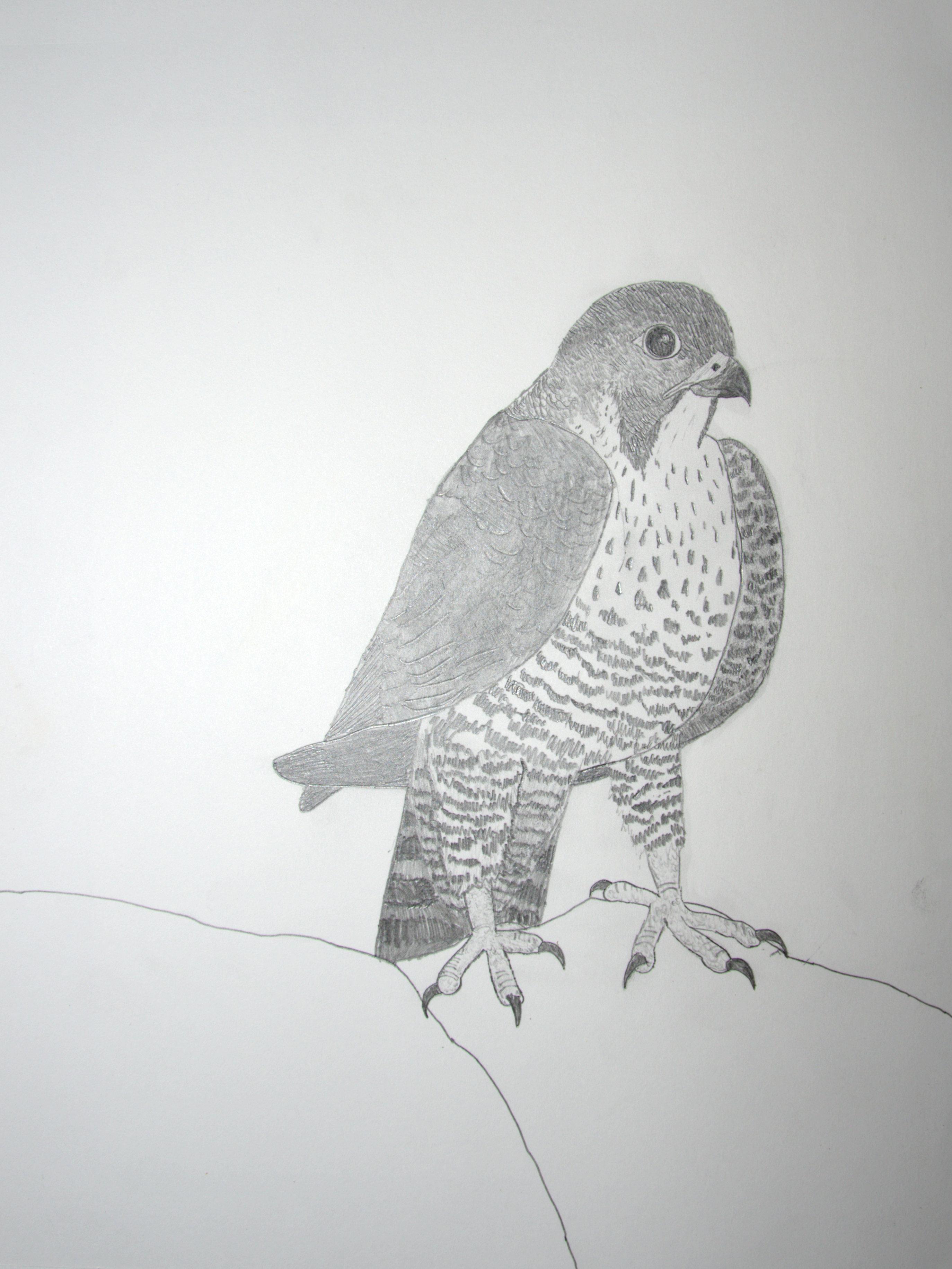Hayden Bildy, Age 14, Peregrine Falcon