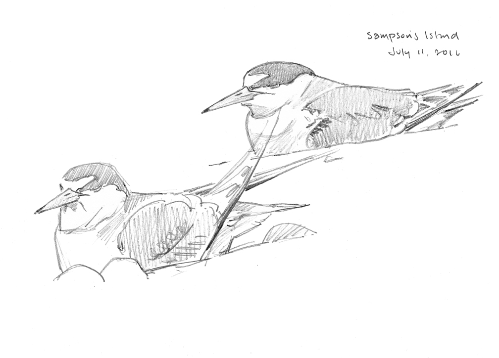 Incubating Least Terns - sketchbook page - at 72 dpi