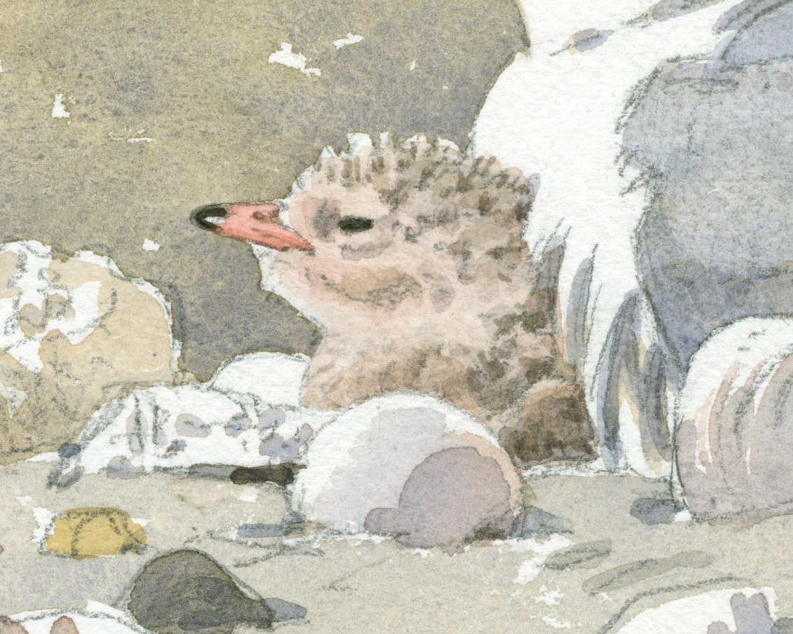 Least Tern Chick detail - at 300 dpi