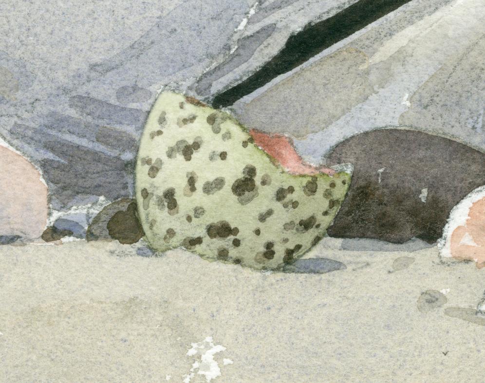 Least Tern Eggshell detail - at 300 dpi