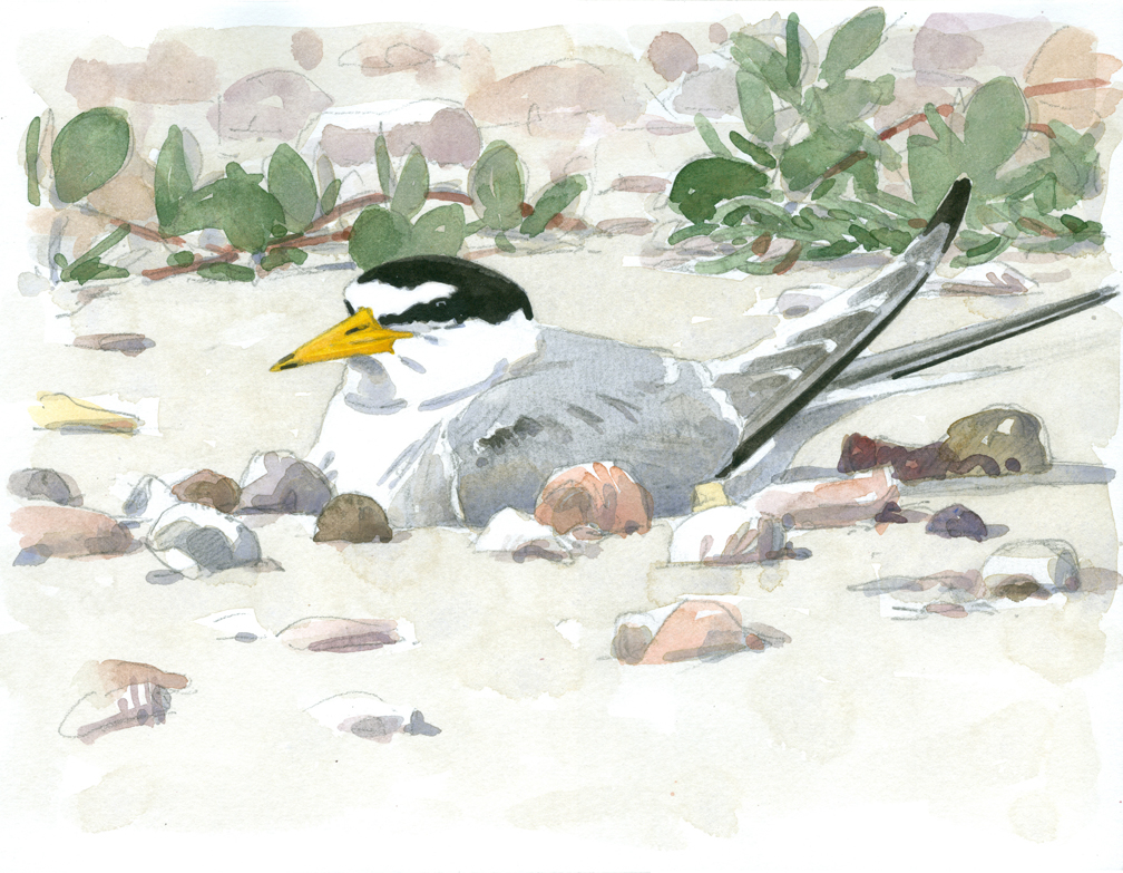 Least Tern Incubating - at 72 dpi