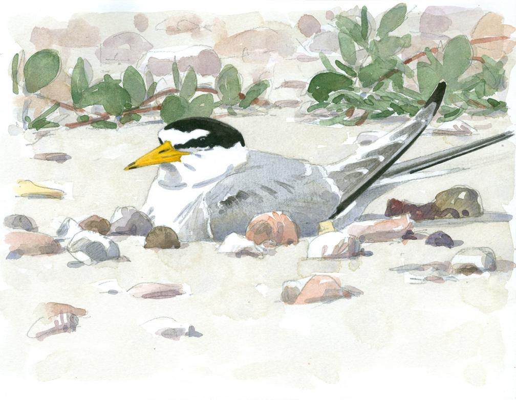 Least Tern Incubating - at 72 dpi