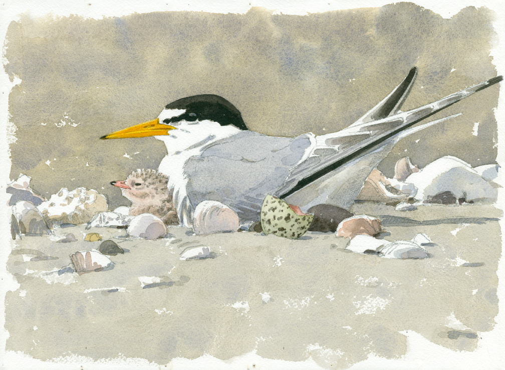 Least Tern with Chick and Eggshell - at 72 dpi