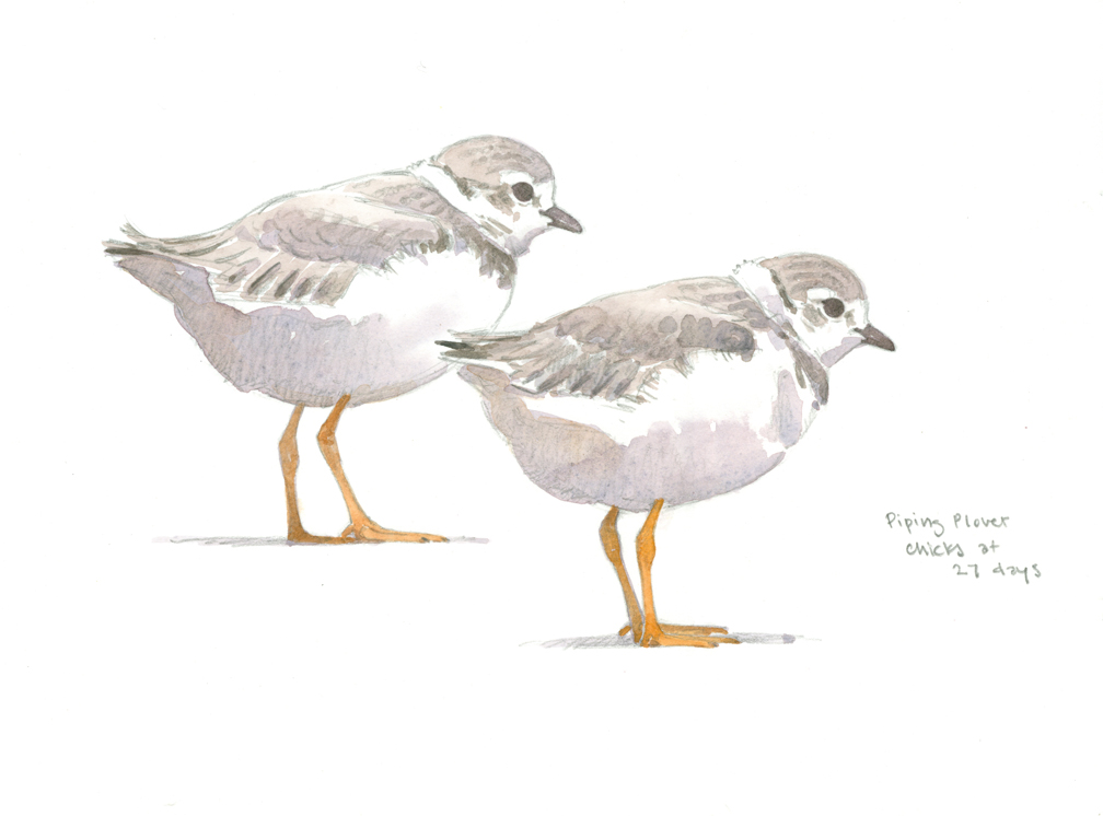 Piping Plover Chicks at 27 days - at 72 dpi